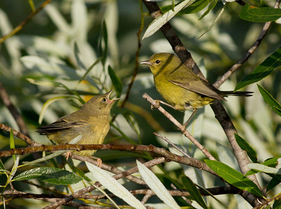 Orange-Crowned Warbler  San Luis Rey Oceanside 2011 05 25-6.CR2