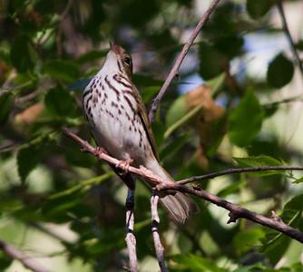 Ovenbird Billings Montana 2015 -06-12-2.CR2