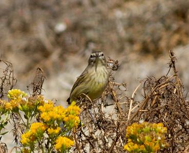 Palm Warbler  Oceanside 2012 10 29 (5 of 7).CR2