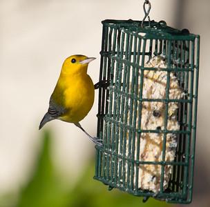 Prothonotary Warbler  Camp Pendleton 2014 10 23-5.CR2