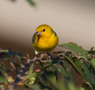 Prothonotary Warbler  Camp Pendleton 2014 10 23-3.CR2