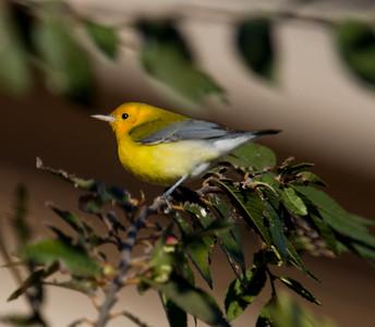 Prothonotary Warbler  Camp Pendleton 2014 10 23-1.CR2