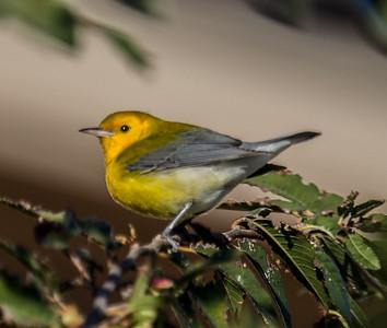 Prothonotary Warbler  Camp Pendleton 2014 10 23-2.CR2