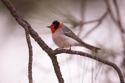 Red-faced Warbler Mt. Lemmon Arizona 2016 04 29-2.CR2