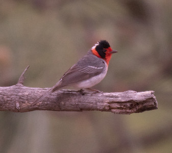 Red-faced Warbler Mt. Lemmon Arizona 2016 04 29-1.CR2
