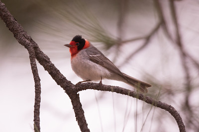 Red-faced Warbler Mt. Lemmon Arizona 2016 04 29-3.CR2