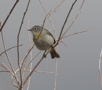 Virginia`s Warbler Wildrose Canyon 2018 05 18-3.CR2