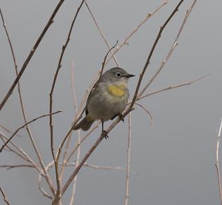 Virginia`s Warbler Wildrose Canyon 2018 05 18-5.CR2