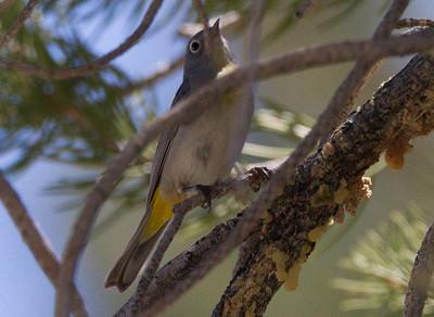 Virginia`s Warbler Wildrose Canyon 2015 05 31-3.CR2