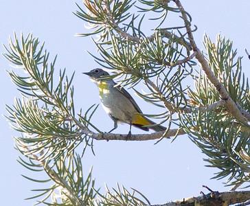 Virginia`s  Warbler Wildrose Canyon 2015 06 24-1.CR2