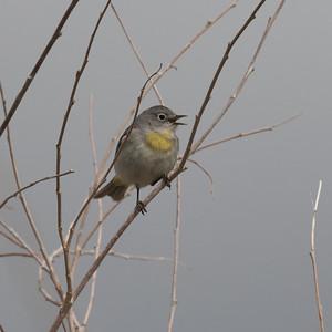 Virginia`s Warbler Wildrose Canyon 2018 05 18-4.CR2