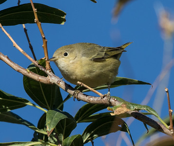 Yellow Warbler  Coso Junction 2016 10 02-1.CR2