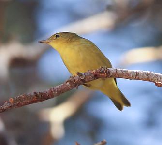 Yellow Warbler  Tinemaha  2012 08 29 (2 of 2).JPG