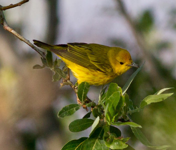 Yellow Warbler  San Luis Rey Oceanside 2011 5 16 (1 of 1).CR2