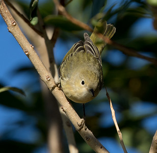 Yellow Warbler  Coso Junction 2016 10 02-2.CR2