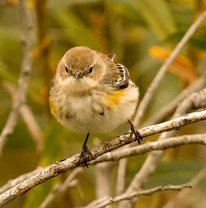 Yellow-rumped Warbler (Myrtle)  Whelan Lake 2016 11 16-2.jpg