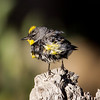 Yellow-rumped Warbler  Mammoth Lakes 2014-08-19 (1 of 2).CR2 (2 of 2).CR2