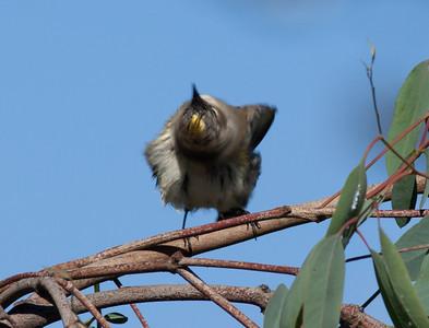 Yellow-Rumped Warbler Encinitas Ca  11 15 10-1.CR2