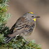 Yellow-rumped Warbler  Mammoth Lakes 2014-08-19 (1 of 2).CR2 (1 of 2).CR2