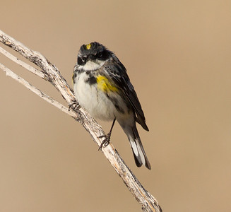 Yellow-rumped Warbler (Myrtle} Crowley Lake 2014 04 23-6.CR2