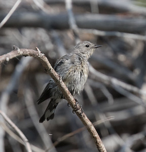 Yellow-rumped Warbler Wild Rose Canyon 2018 08 12-6.CR2