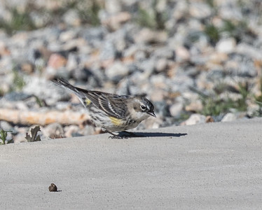 Yellow-rumped Warbler (Myrtle) 2018 03 28-1.CR2