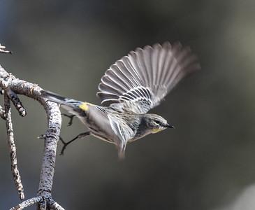 Yellow-rumped Warbler Lower Rock Creek 2020 02 23-2.CR2-1.CR2