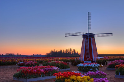 Wooden Shoe Tulip Farm 2014