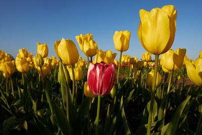 Wooden Shoe Tulip Festival