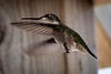 20180831-hummingbird-021