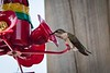 20180831-hummingbird-015