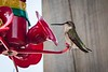 20180831-hummingbird-017