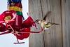 20180831-hummingbird-019