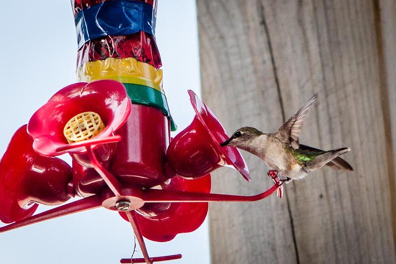 20180831-hummingbird-009