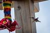 20180831-hummingbird-010