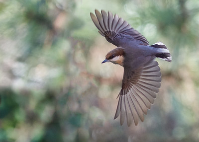 Brown-Headed Nut Hatch