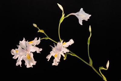 Woodland Iris 5.3.18