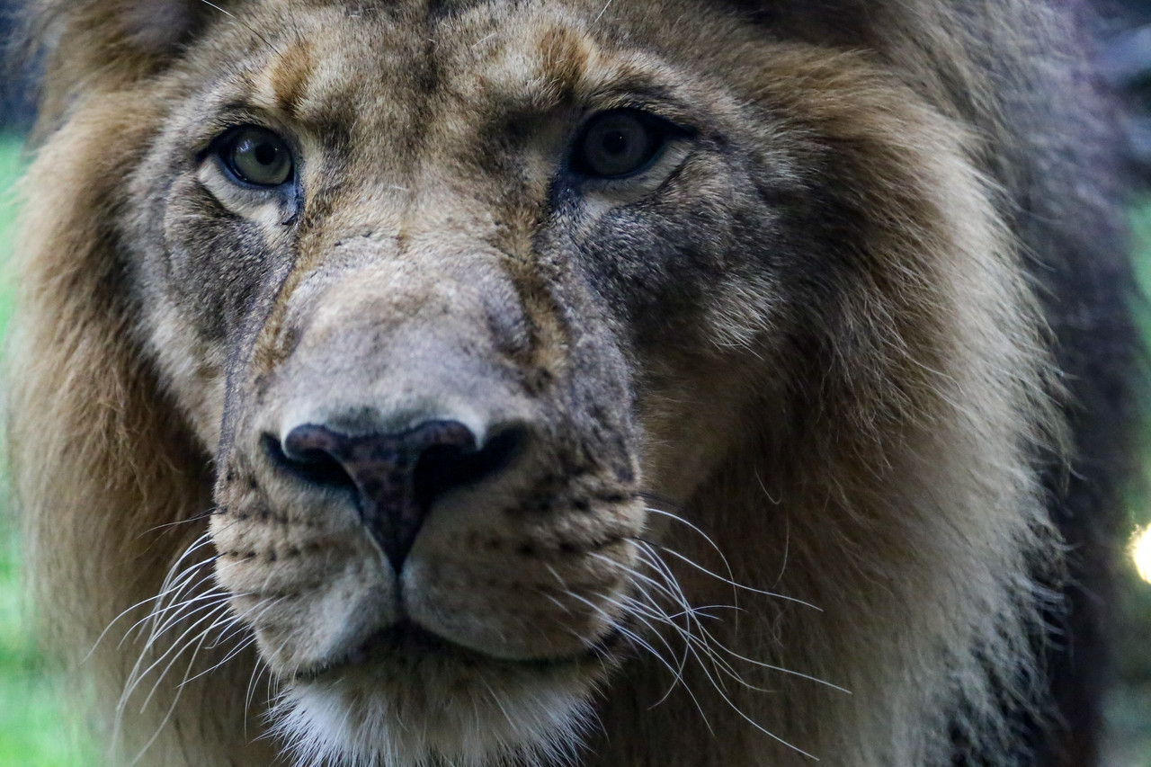 After spending some time in the viewing cave of the lions, this majestic beast walked over and stuck his nose against the glass, where my lens was about an inch, and my face about six inches away from. It was a bit heart stopping, but an incredible experience to come so close to a lion, even if separated by glass. Promptly after this, he turned around and sprayed the window, so you know, all good things come to an end.