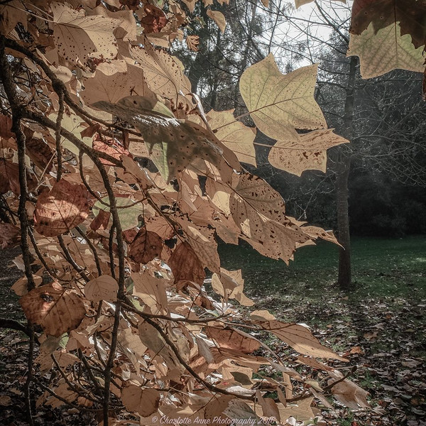 Lacock Oak Tree