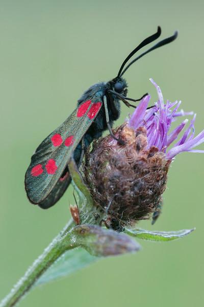 Six Spotted Burnett Moth