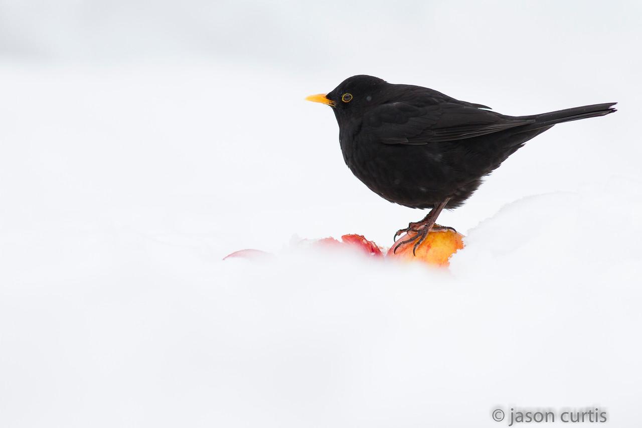 Blackbird in Snow