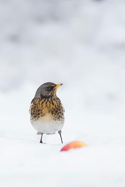 Fieldfare in Snow