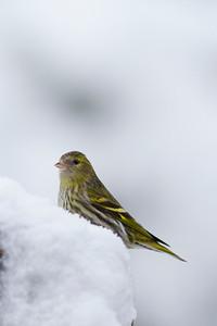 Siskin in Snow