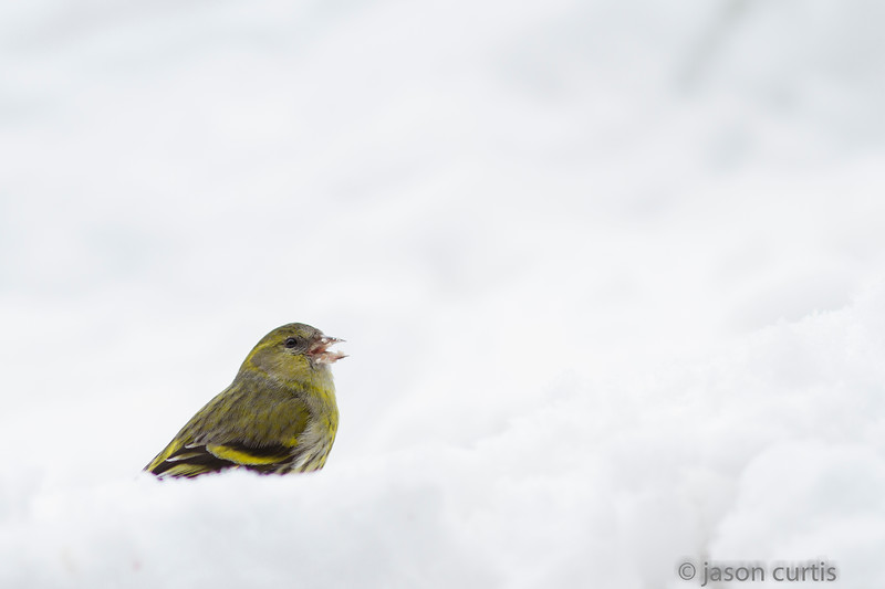 Siskin in Snow