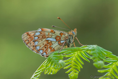pearl bordered fritillary on fern
