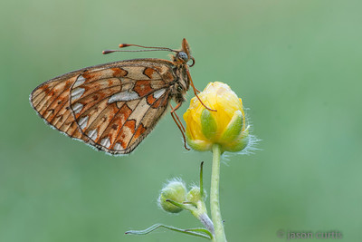 pearl bordered fritillary buttercup