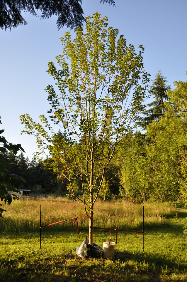 July 2012  Brandy Wine Maple.  Rescued September 2011.  I had 2 Gator Bags zipped together for this tree then converted to 1 Ooze tube.