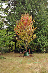 Fall 2011  Brandy Wine Maple showing signs of stress right after the transplant.  I have 2 Gator bags to deliver a good dose of water to the tree.