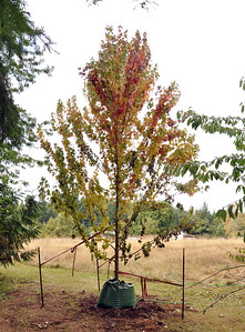 This tree is very stressed but will recover well through the dormant season.  Fall 2011.    April 2012 Buds are very red and show lots of life!