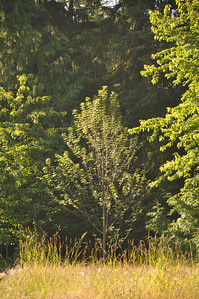 July 2012  Brandy Wine Maple.  South.   Late Afternoon.  Rescued September 2011.  Was going to be cut down for a swing set.